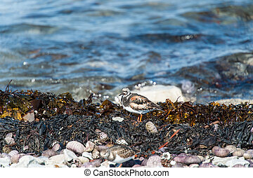 Ruddy Turnstone bird among algae and shells on the seashore...