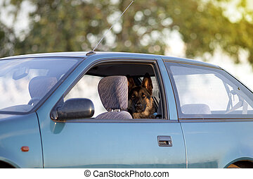 Dog in hot car in summer