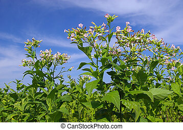 cultivated Tobacco 09