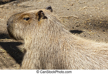 Biggest rodent around the world, Capybara or Hydrochoerus...
