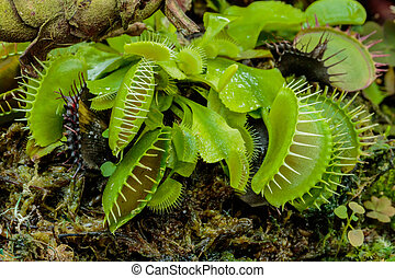 The Venus Flytrap - The many colorful Venus Flytrap