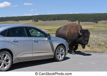 Bison and Car - A bison bull doesn't care about the car...