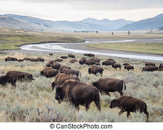 Bison Herd At Yellowstone NP - A herd of Bison (Buffalo)...