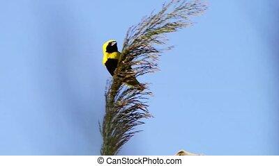 Golden Bishop bird on wild grass against clear blue sky.