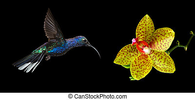 Hummingbird flying against black background - Hummingbird...