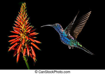 Hummingbird with tropical orange flower kniphofia - Rufous...