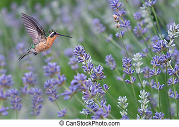 Rufous Hummingbird female feeding on wild flowers
