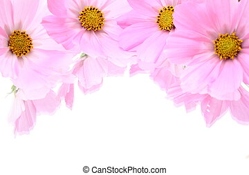 Cosmea blossoms laying on a mirror