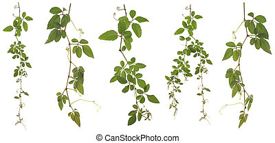Collected Cayratia Japonica isolated on white background -...