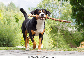 Sennenhund playing with long branch - Young Sennenhund,...