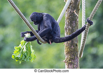 Spider monkey Ateles fusciceps eating a piece of fruit