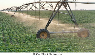 Agriculture, soybean field watering - Soy bean field with...