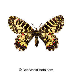 Southern Festoon - isolated butterfly - Southern Festoon...