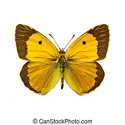 Clouded Yellow - isolated moth - Clouded Yellow, Colias...