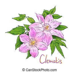 Clematis. Sketch with watercolor imitation texture. Vector...