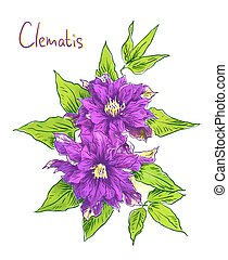 Clematis isolated.