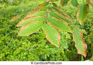 Leaf blight of Nephelium lappaceum or rambutan lack of...