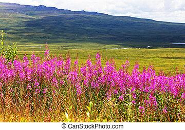 Flowers on Alaska - Meadow in Alaska