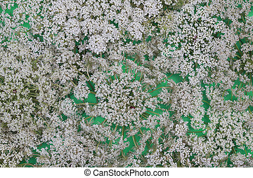 Wild carrot flower on green background - Queen Anne's Lace...