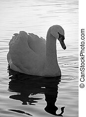 Adult Mute swan on a lake with reflection