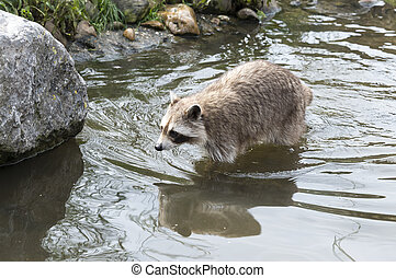 raccoon walking in the small river