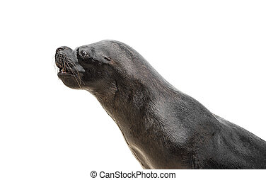 Sea Lion isolated on a white background