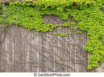 Virginia creeper on a wooden facade - Virginia creeper with...