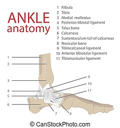 human ankle anatomy - vector illustration of human ankle...