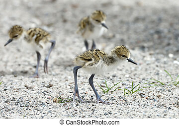 Black-necked stilt Himantopus mexicanus - Juvenile...