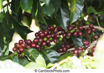Ripe Coffee Bean Fruit