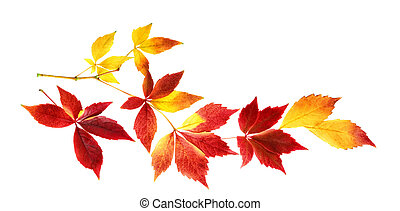 Nice autumn leaves on a twig, isolated