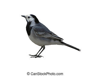 White Wagtail on a white background - Isolated object of a...