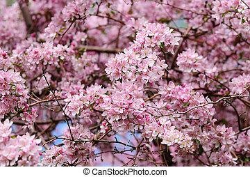 Pink blossom of apple tree