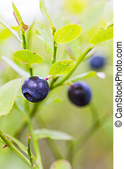 Natural growing healthy blueberries in the woods - Natural...