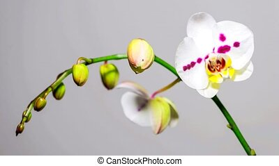 Beautiful Orchid Flower Timelapse - White Orchid Flower...
