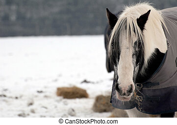 winter horse - horse eating hay in a snow covered paddock