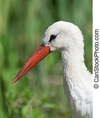 white stork - White stork close up head shot