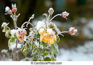 winter roses - rose buds covered with a heavy winter frost
