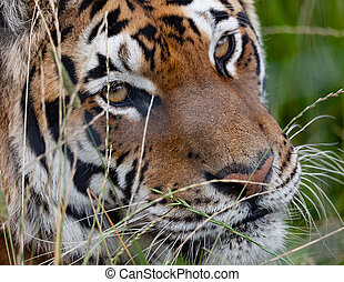 Tiger in the grass close up headshot