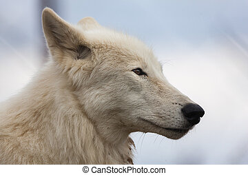 White wolf close up head shot
