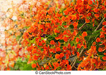 Flamboyant or Delonix Regia and blurred lights background