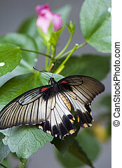 Female great mormon butterfly Papilio memnon agenor perching...