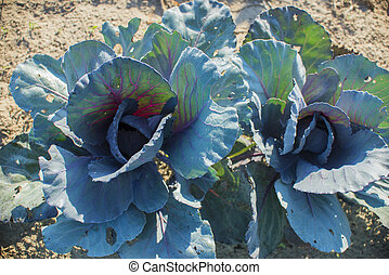 Red cabbage in vegetable garden - Organic red cabagge plain...