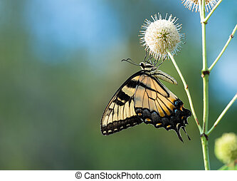 Eastern Tiger Swallowtail butterfly on buttonbush flowers