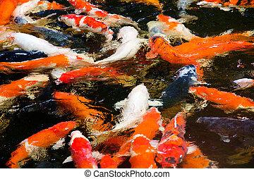 colorful koi carp fish group swimming in pond