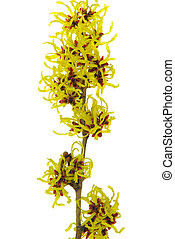 Hamamelis isolated 01