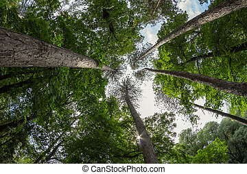 Pine forest of tall ship pines - Crown of large pine trees...