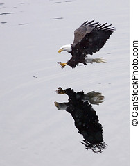 A bald eagle swoops in. - A bald eagle swoops in for the...
