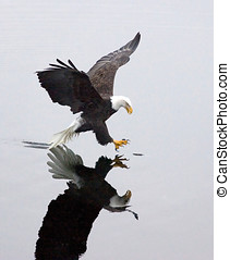 A bald eagle grabs a fish. - A bald eagle, casting a mirror...