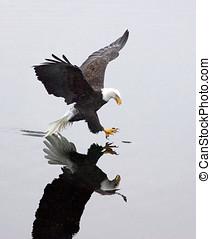 A bald eagle grabs a fish. - A bald eagle, casting a mirror...